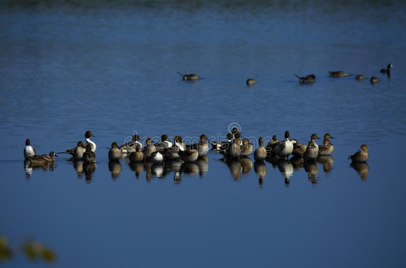 Northern Pintail Ducks. A large flock on northern pintail ducks at the Merritt Island National Wildlife Refuge stock image