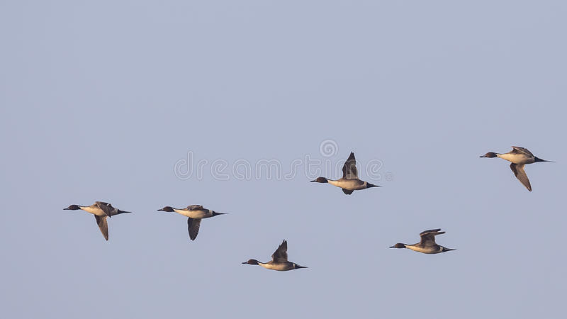 Northern Pintail in Flight. Flock of northern pintail Anas acutaon is in flight stock images