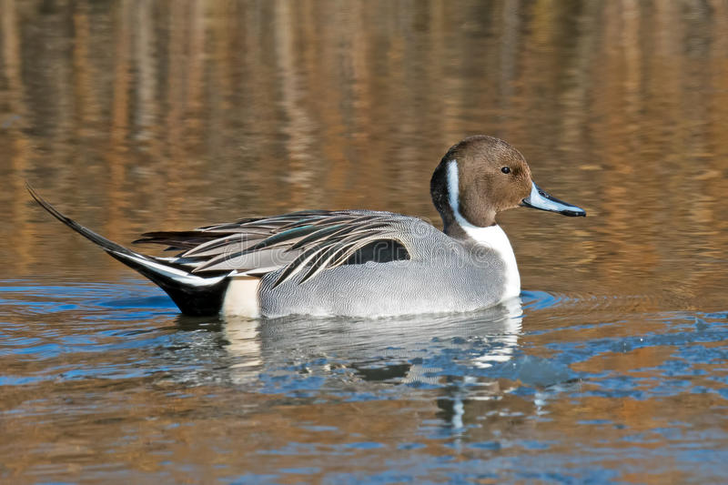 Northern Pintail. Floating in the water royalty free stock photography