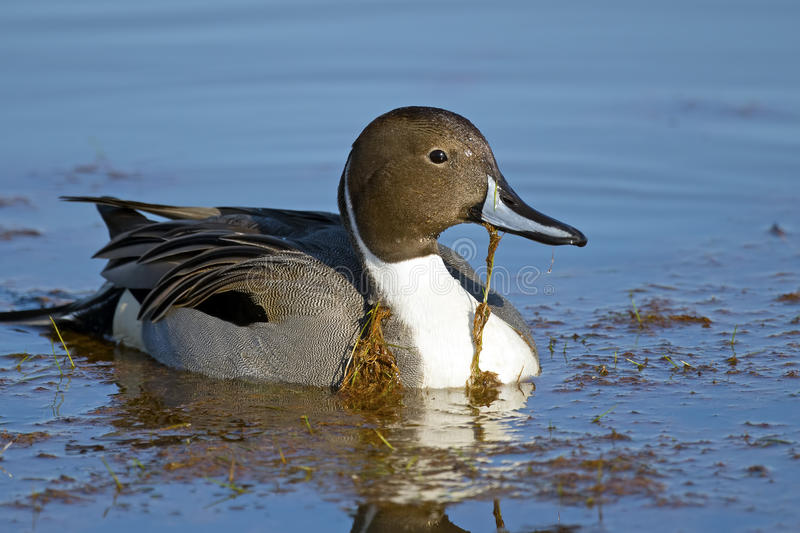 Northern Pintail. Floating in the water stock images