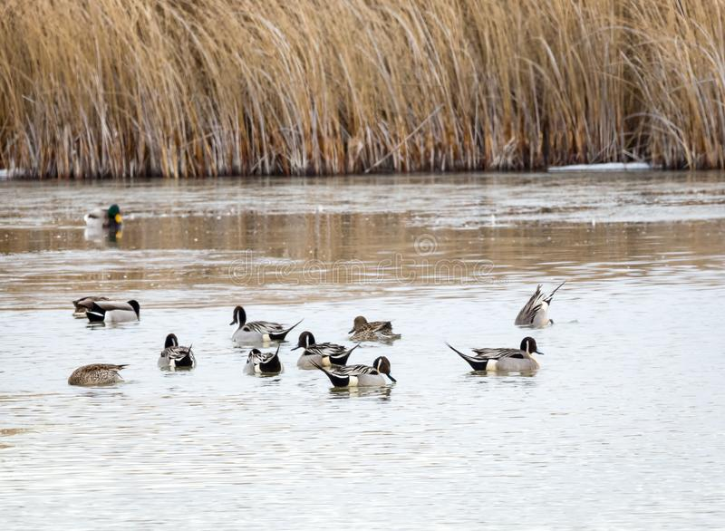 Northern Pintail royalty free stock photography