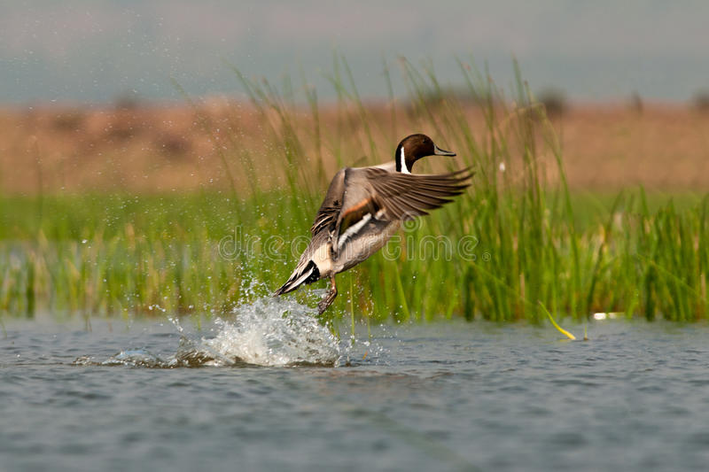 Northern Pintail launched royalty free stock photo