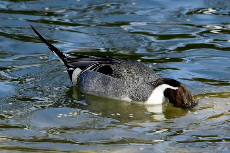 A Northern Pintail Searching For Food. This is an early Spring picture of a Northern Pintail Duck searching for food under the South Pond in Lincoln Park located stock images