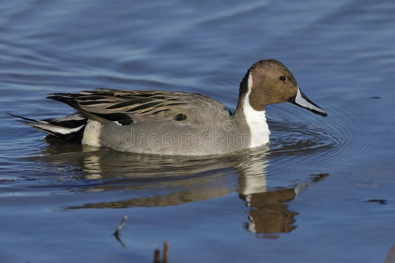 Northern Pintail swimmong on a pond - New Mexico. Northern Pintail Anas acuta swimming on a pond - Bosque del Apache National Wildlife Refuge, New Mexico stock image