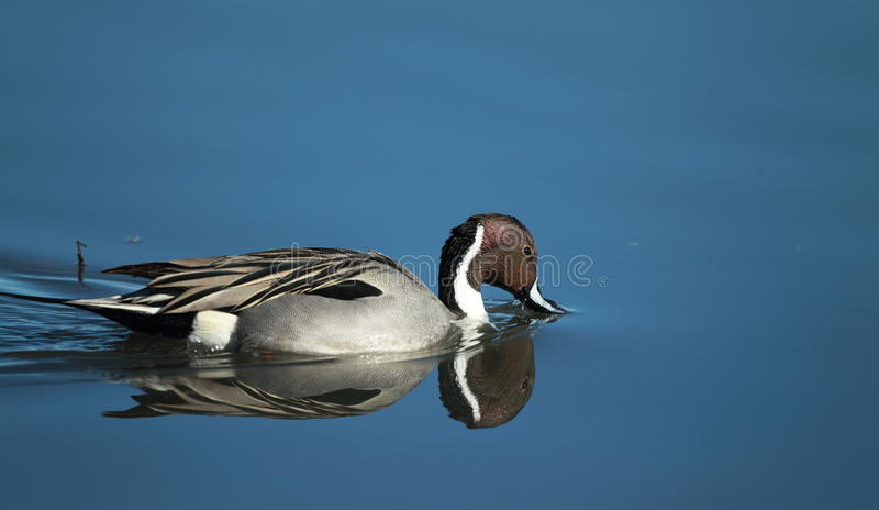 A Northern Pintail swims with a reflection royalty free stock images
