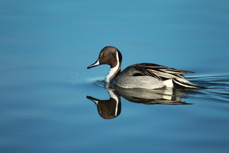 A Northern Pintail swims with a reflection stock image