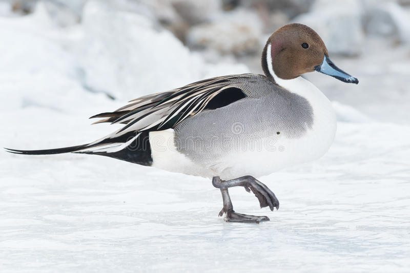 Northern Pintail. Walking on the ice royalty free stock photos