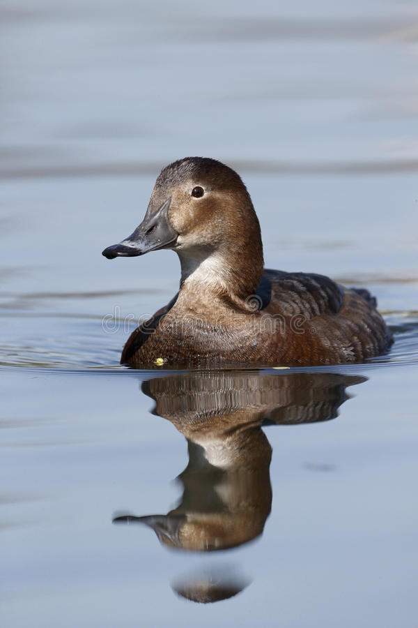 Download Northern Pochard, Aythya Ferina Stock Photography - Image: 36654282