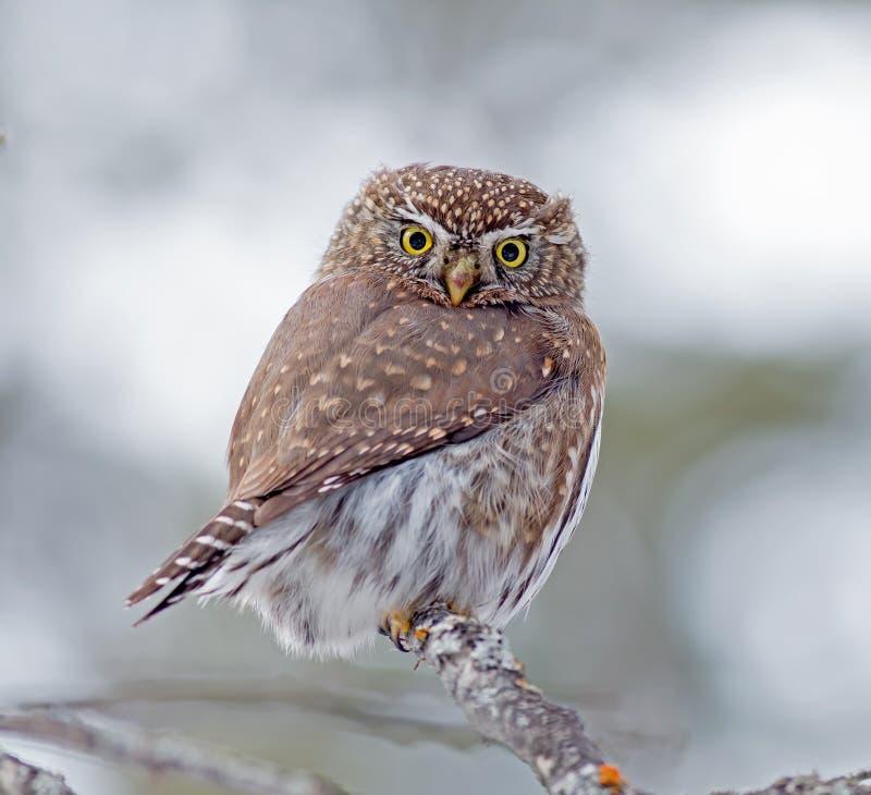 Free Northern Pygmy-Owl Stock Photo - 53660750