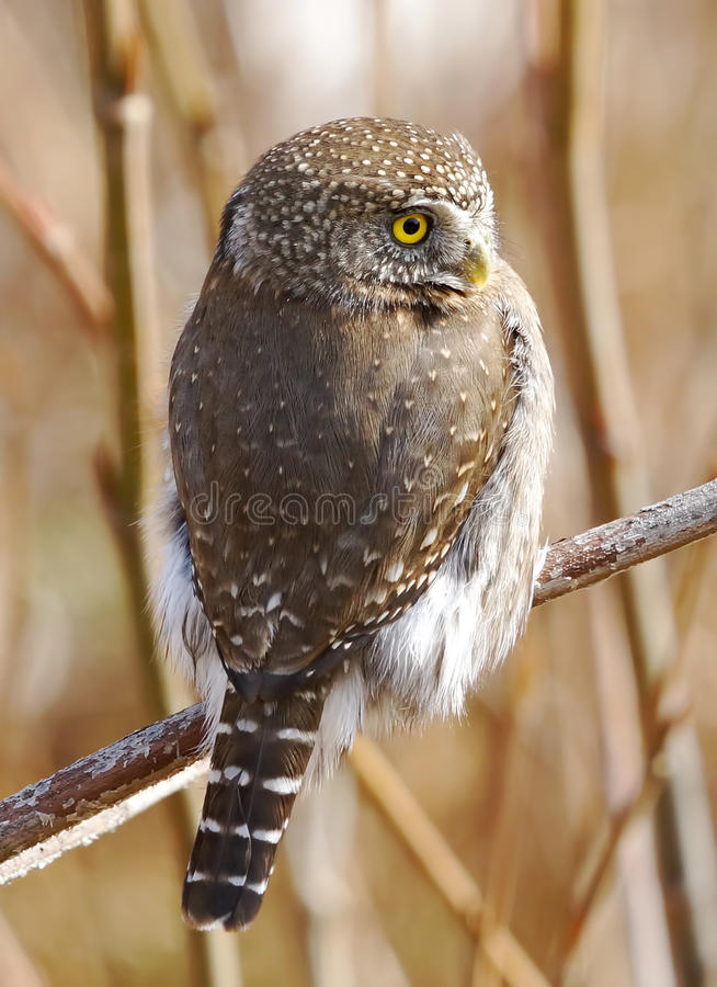 Northern Pygmy Owl - Glaucidium gnoma royalty free stock photography