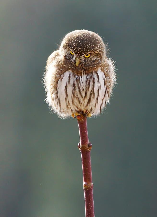 Northern Pygmy Owl - Glaucidium gnoma royalty free stock image