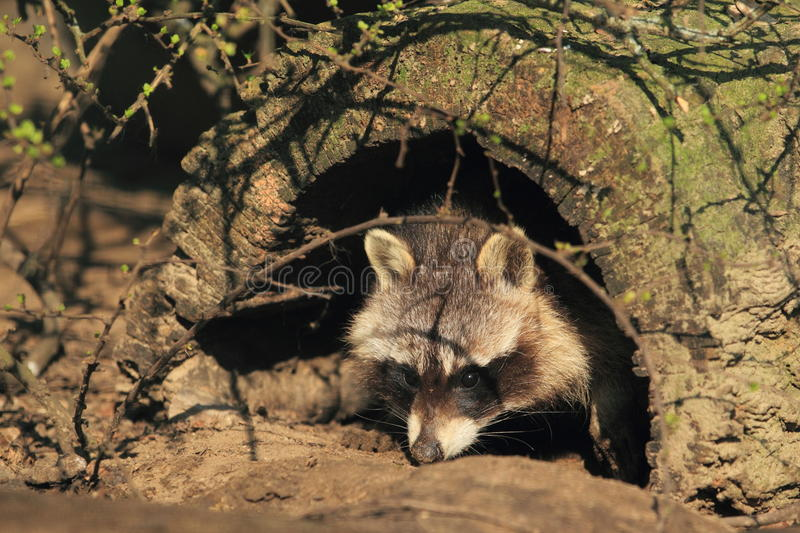 Download Northern raccoon stock photo. Image of north, mammal - 24028186