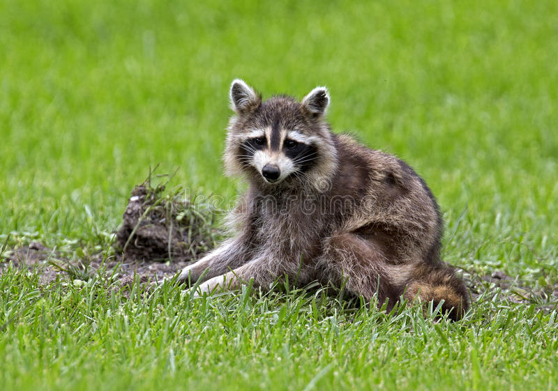 Download Northern Raccoon (Procyon Lator) Stock Image - Image: 31747963
