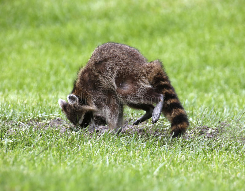 Northern Raccoon (Procyon Lotor) Royalty Free Stock Image