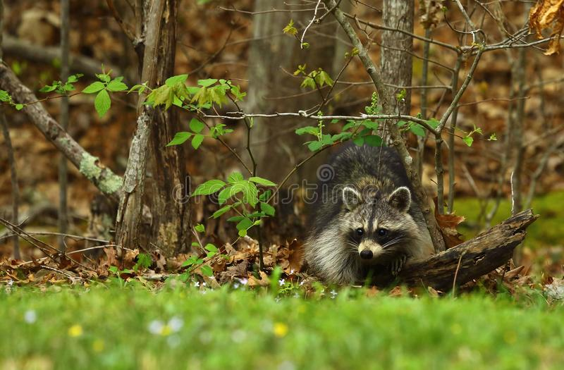 Northern Raccoon stock images