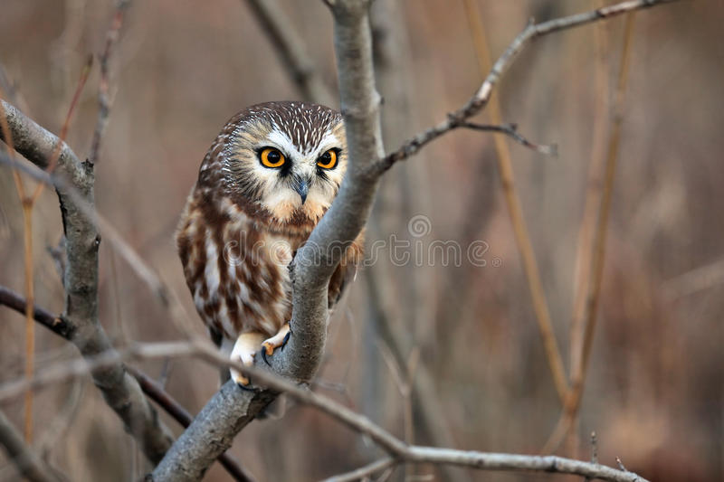Download Northern Saw-Whet Owl stock image. Image of predator - 16518137