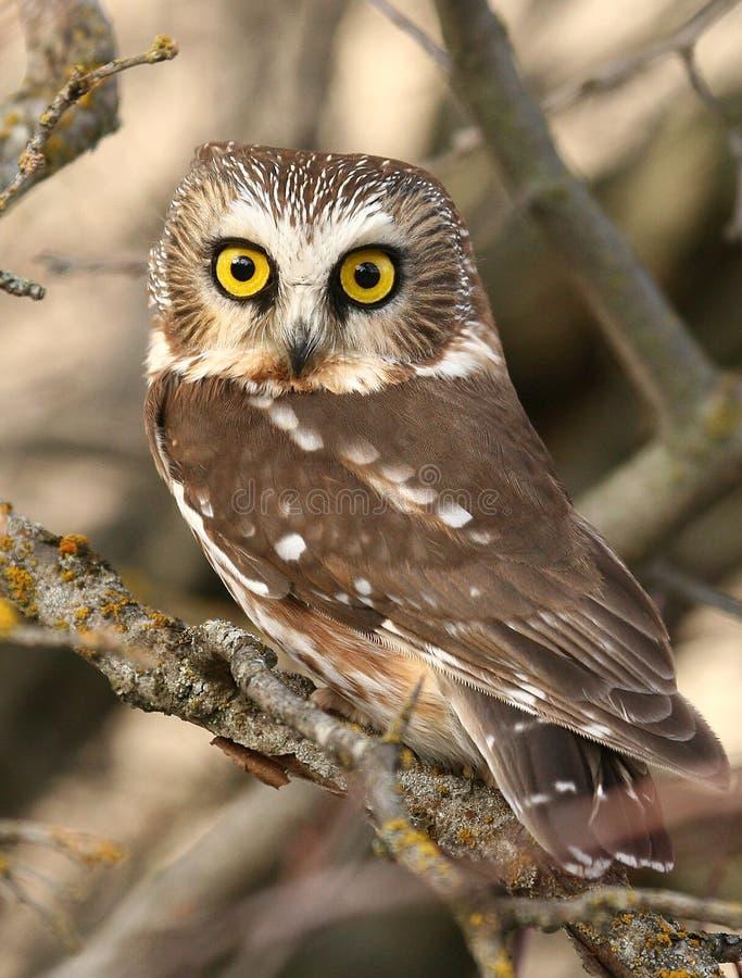 Free Northern Saw-whet Owl Stock Photo - 3685130