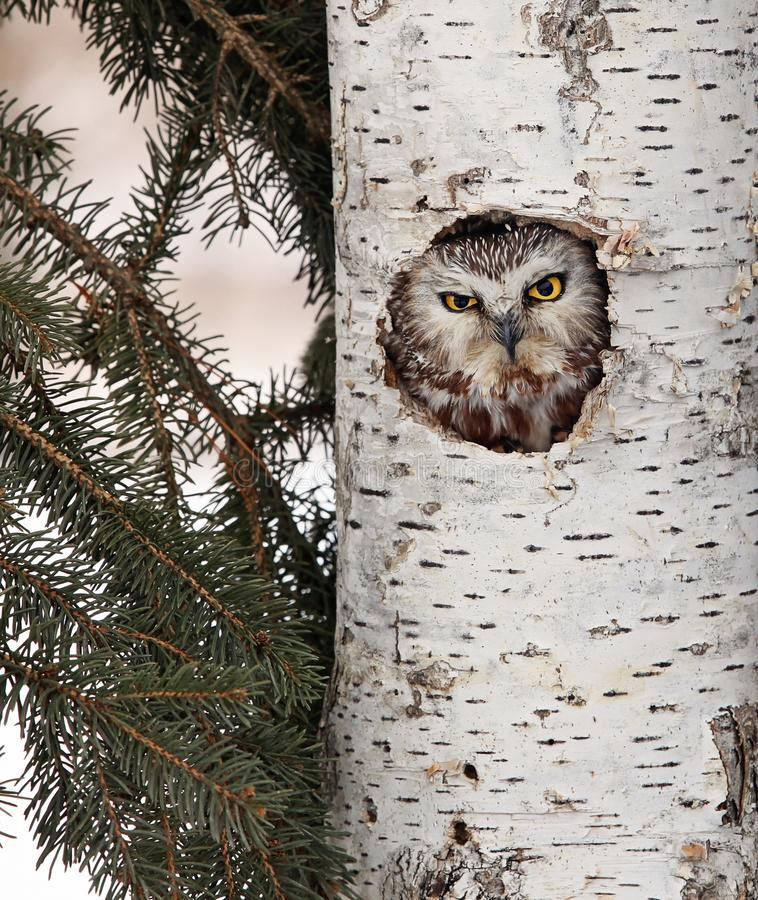 Download Northern Saw-Whet owl stock image. Image of tree, nature - 111533137