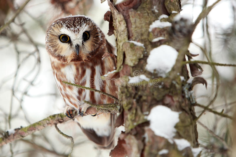 Northern Saw-Whet Owl In Winter royalty free stock photos