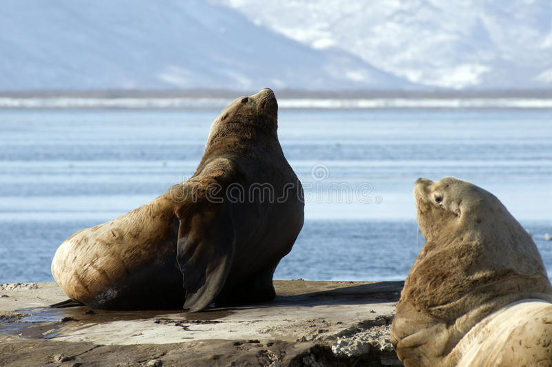 Northern sea-lion. royalty free stock photography