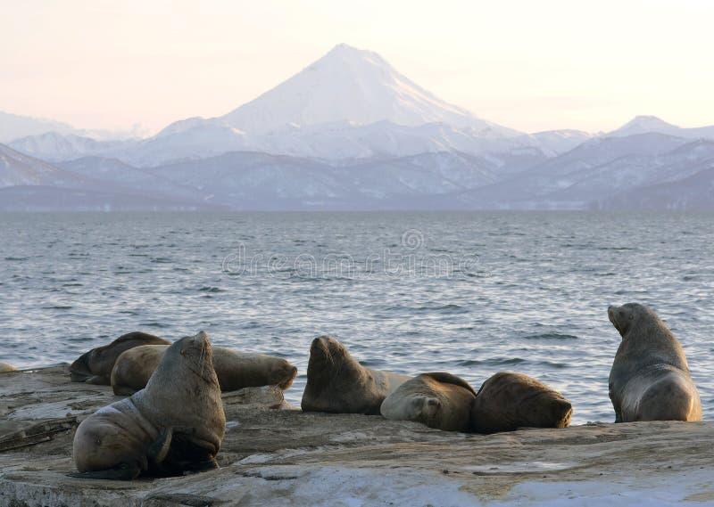 Northern sea-lion. royalty free stock photos