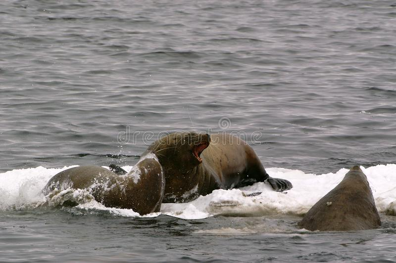 Download Northern Sea-lion (Eumetopias Jubatus) Stock Image - Image: 8601513
