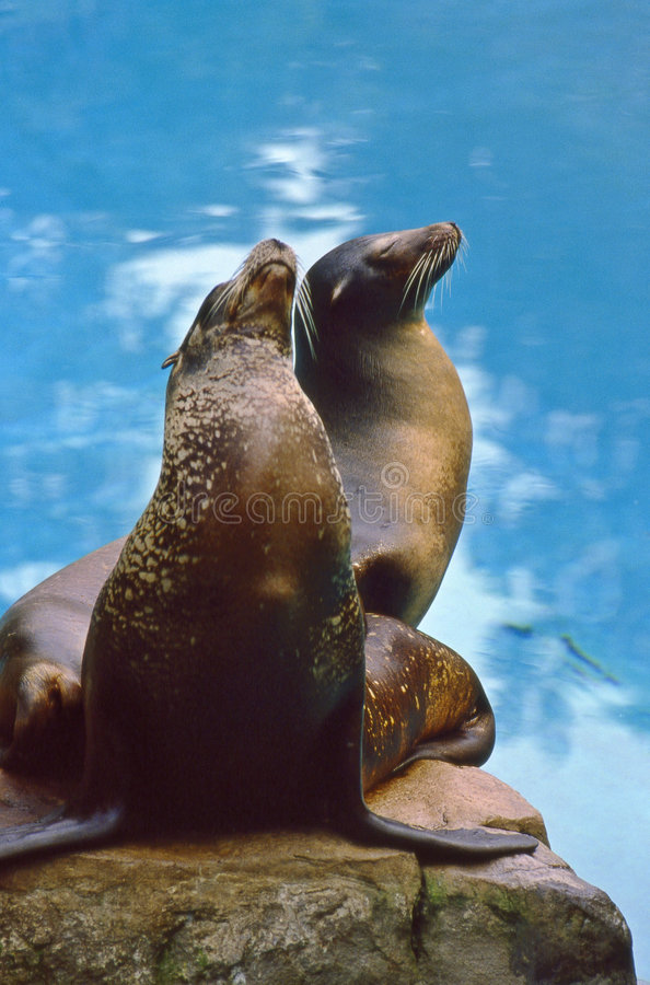 Northern Sea Lions (Eumetopias jubatus) royalty free stock photography