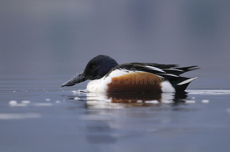 Northern Shoveler. Side view of a Northern Shoveler in water stock photography