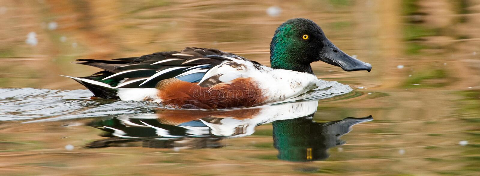 Northern Shoveler. Panoramic Composition of Male Northern Shoveler with Reflection royalty free stock photos
