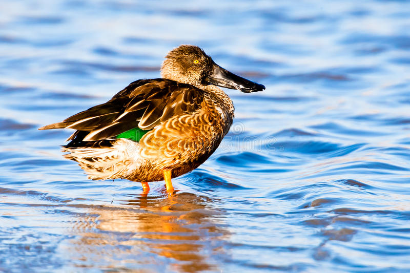 Download Northern Shoveler stock photo. Image of clypeata, stand - 22546788