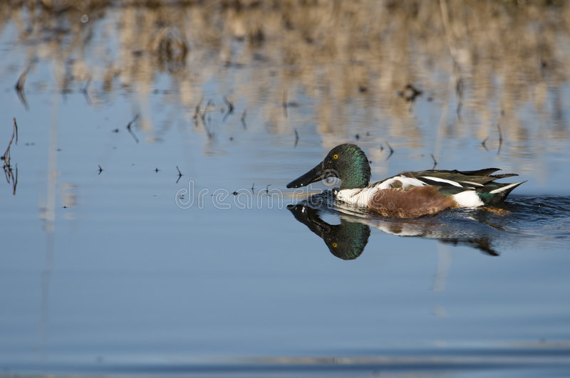 Northern shoveler. Swimming in water adult breeding stock photography