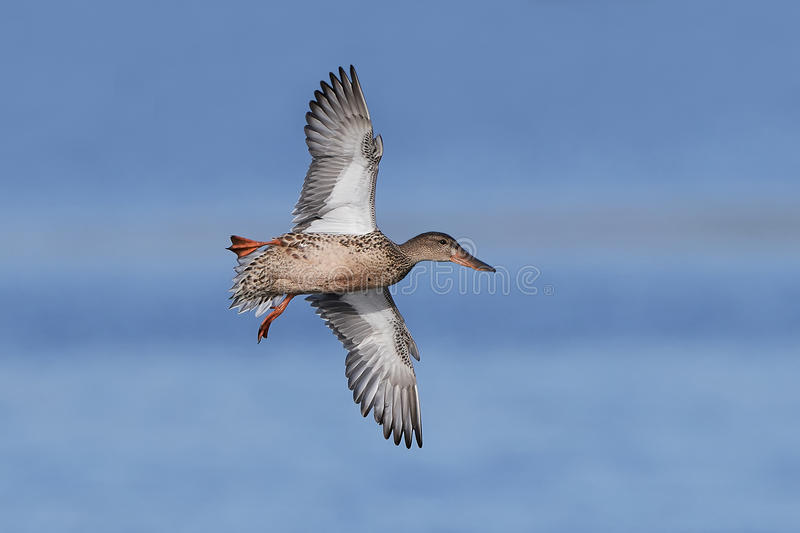 Northern shoveler Anas clypeata. Northern shoveler in flight with blue skies in the background royalty free stock image