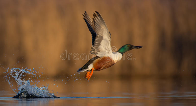 Northern Shoveler - Anas clypeata - male. At a wetland in spring, taking off stock photography