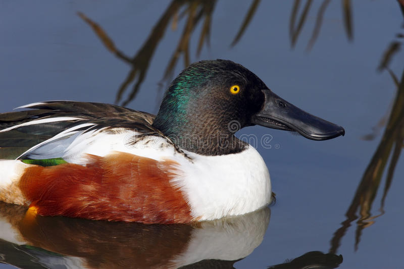 Northern Shoveler Duck (Anas clypeata). The Shoveler sucks water through the bill tip with it's pump action tongue and expels it at the sides where it passes stock image