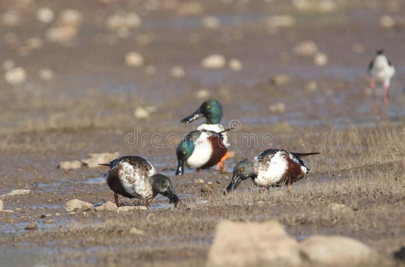 Northern shoveler duck. Northern shoveler family at river banks in search of food. bird colour are so beautiful, iridescent dark green head, white breast and stock photography