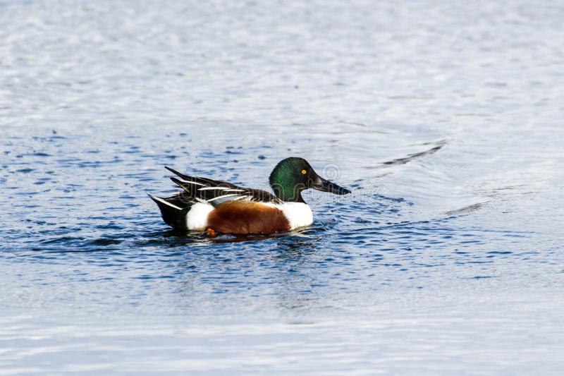 Northern Shoveler duck. In vancouver bc canada royalty free stock images