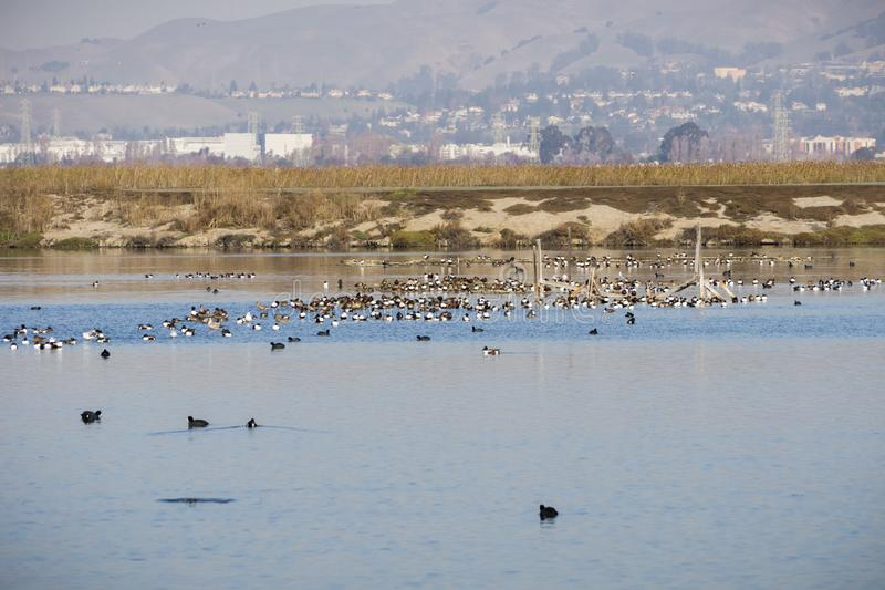 Northern Shoveler ducks resting in the waters of south San Francisco bay, Alviso, San Jose, Santa Clara county, houses and. Buildings from Fremont in the stock photo