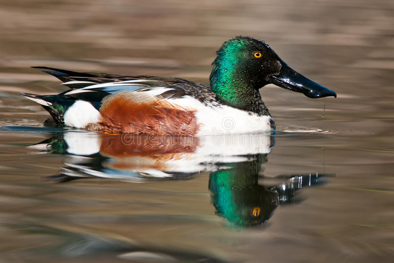 Northern Shoveler. Male Northern Shoveler swimming in open water royalty free stock photography