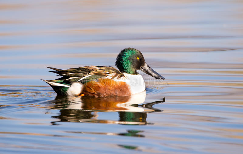Northern Shoveler, Male. Male Northern Shoveler swimming in a pond royalty free stock image