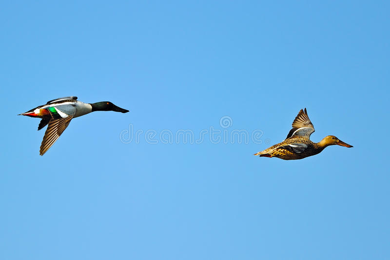 Northern Shoveler's In Flight. A male and female Northern Shoveler In Flight against a blue sky at Bombay Hook National Wildlife Refuge royalty free stock photos
