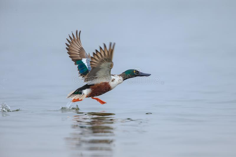A Northern shoveler taking off. The northern shoveler, known simply in Britain as the shoveler, is a common and widespread duck royalty free stock photo