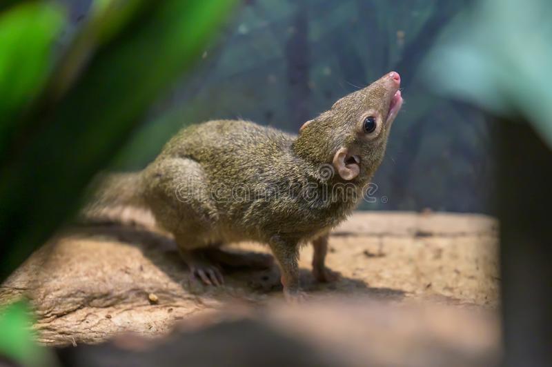 A Northern Tree Shrew, sitting on a branch royalty free stock images