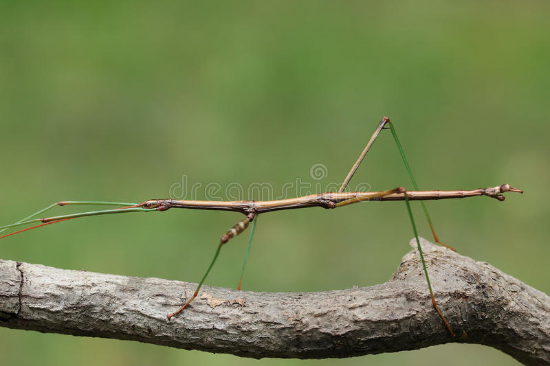 Northern Walking Stick stock photo