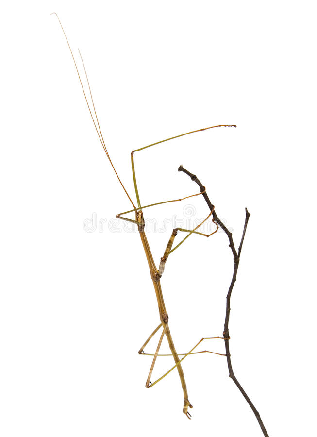 Northern Walking Stick on a branch royalty free stock photos