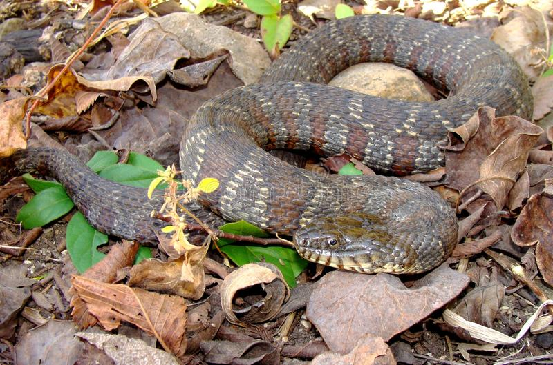 Northern Water Snake, Nerodia sipedon. The aggressive fish eating Northern Water Snake, Nerodia sipedon royalty free stock photography