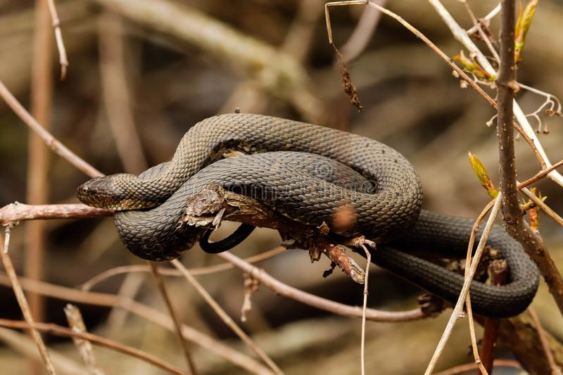 Northern water snake.. A Northern Water snake, perched on a branch on a warm, cloudy spring day stock image