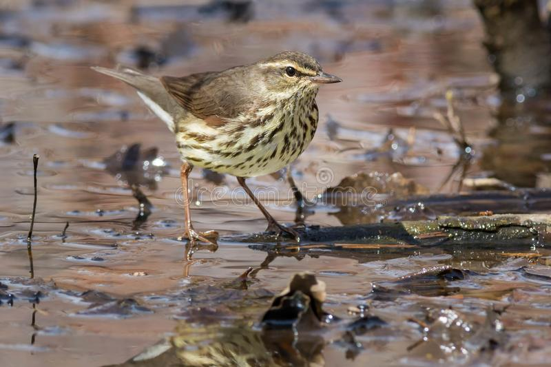 Northern Waterthrush. Foraging on the wet forrest floor stock images