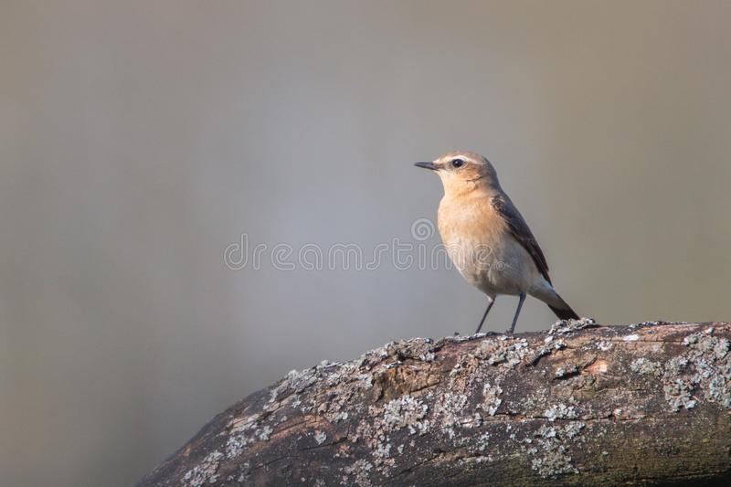 The northern wheatear, little song bird. The northern wheatear Oenanthe oenanthe royalty free stock photography
