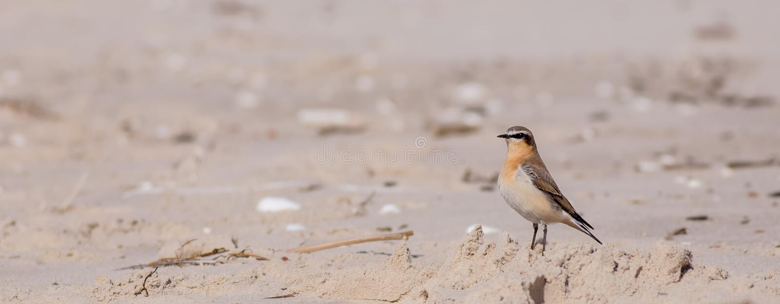 Northern Wheatear - Oenanthe oenanthe royalty free stock photography