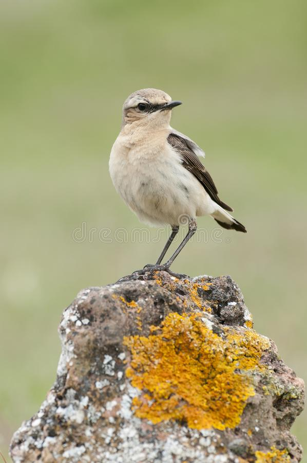Northern wheatear - Oenanthe oenanthe female stock photos